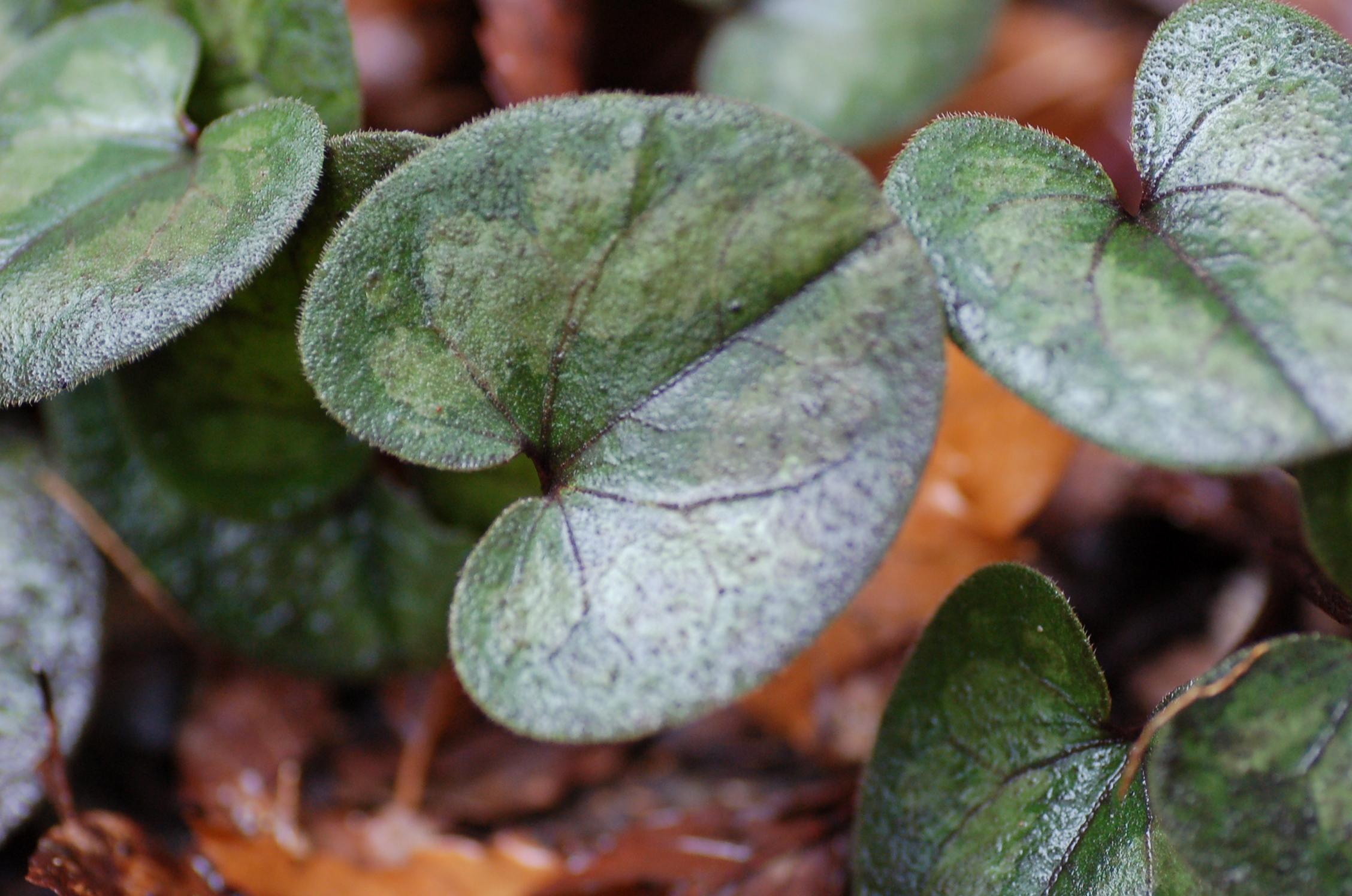 カンアオイの葉1