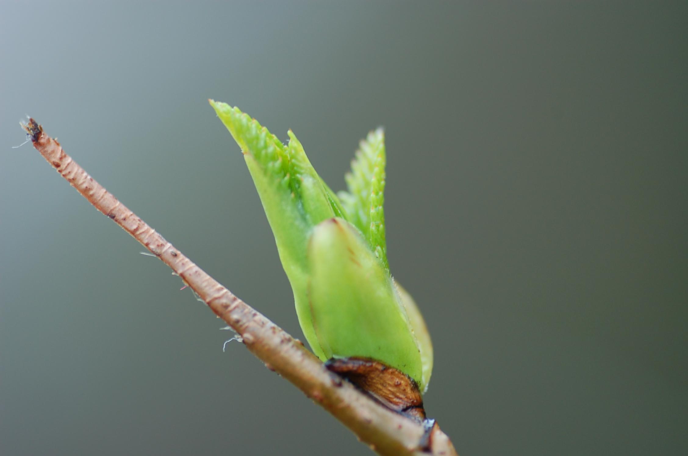 オオバヤシャブシの葉