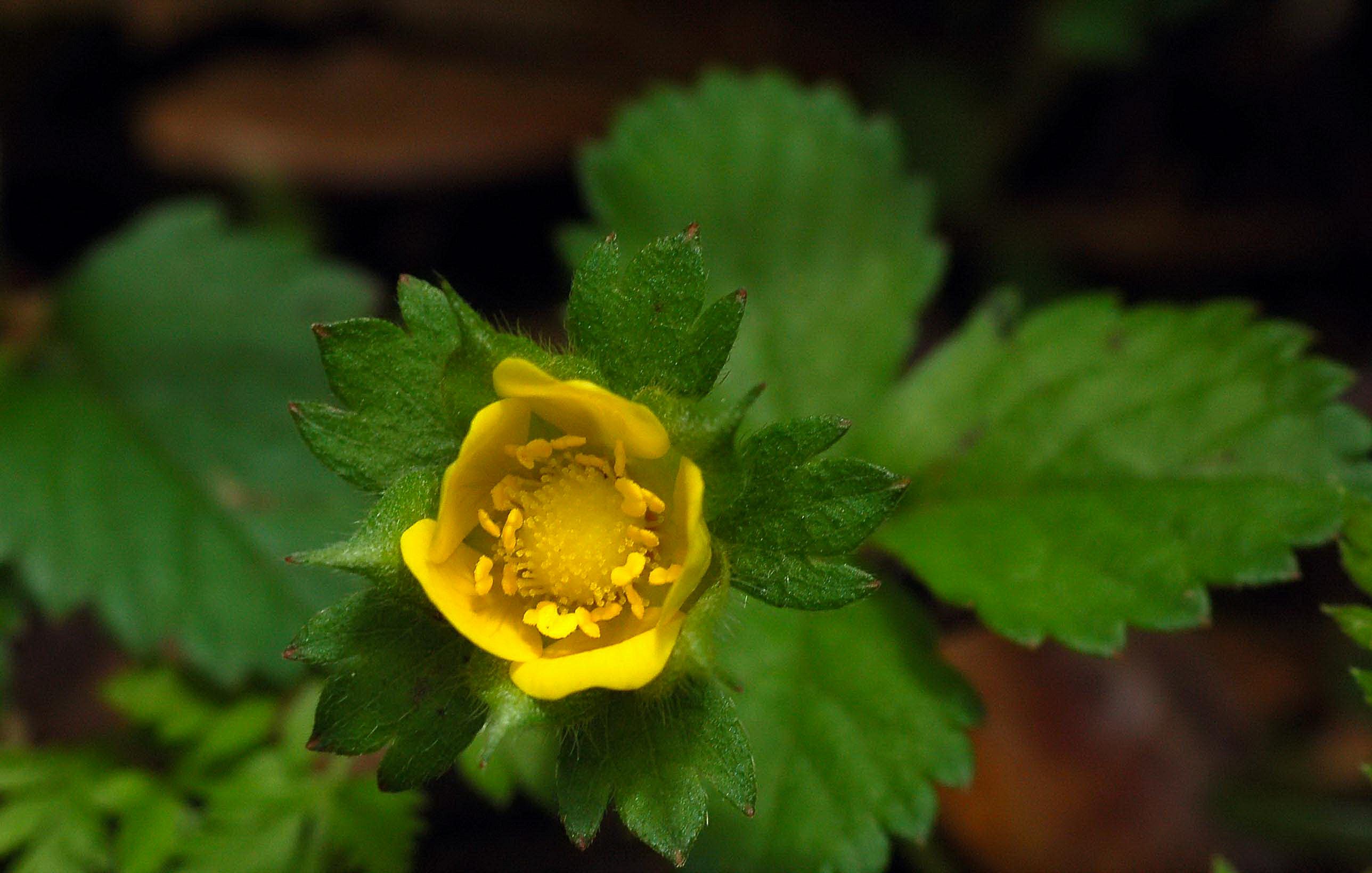 エビイチゴの花(バラ科) 5月14日